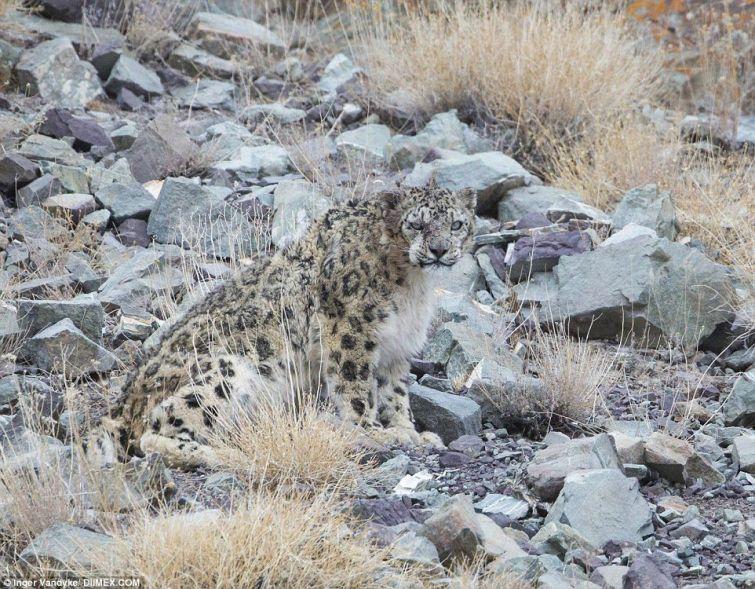 Неуловимый хищник: сможете ли вы найти на этих фотографиях снежного барса?